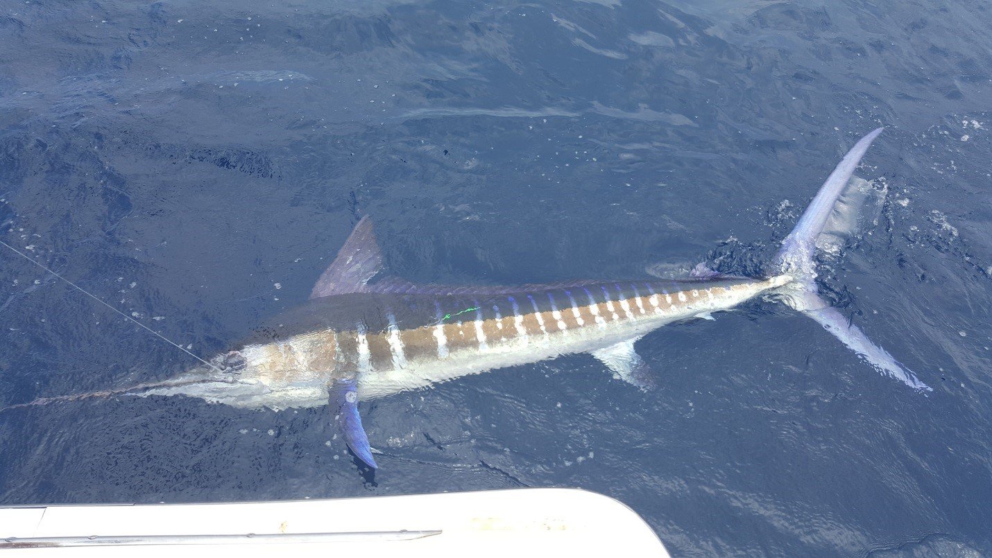 Cabo fishing report pisces cabo fishing report may 7th for Los cabos fishing