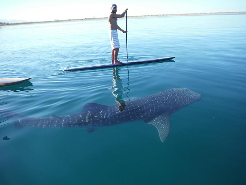 Cabo News Bay Of La Paz Natural Nursery For Whale Sharks