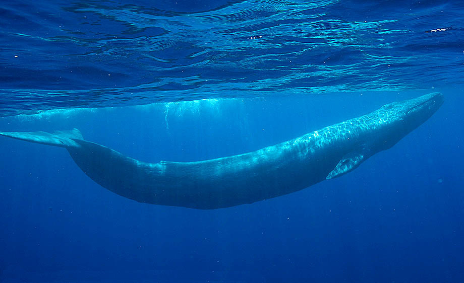 blue%20whale - The blue whale, bow... - Science and Research