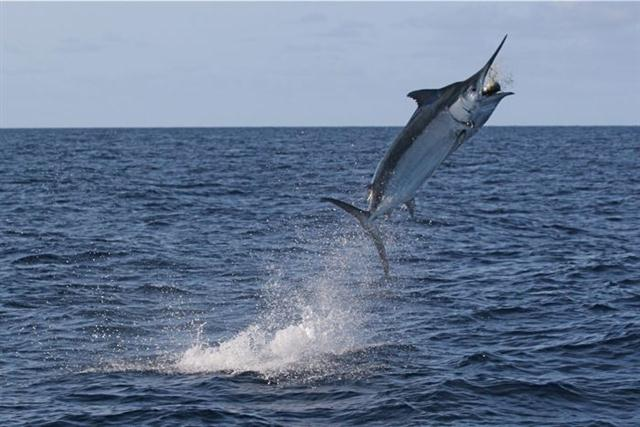 Cabo News Sportfishing In Los Cabos